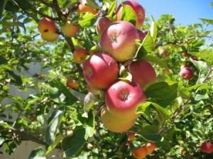 Tác dụng của táo